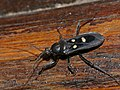 Assassin Bug (Reduviidae) (13966021573).jpg