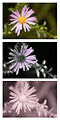 Aster-(Michaelmas-daisy)-flower-Vis-UV-IR-comparison.jpg