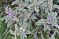 Astragalus geminiflorus (14283904947).jpg