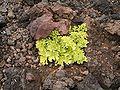 Astydamia latifolia (Los Cancajos) 03 ies.jpg