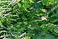 Atlas roslin pl Metasekwoja chińska 5316 7412.jpg