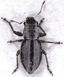 <i>Atrichonotus taeniatulus</i> Species of beetle