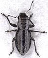 Atrichonotus taeniatulus (Berg, 1881).jpg