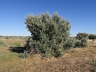 Atriplex nummularia - Image: Atriplex nummularia Large shrub