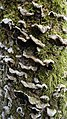 Auricularia mesenterica 2 BG.JPG