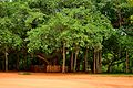 Auroville banyan tree.jpg