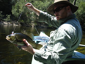 Australian bass - An Australian bass (summer, freshwater reaches) before release.
