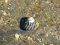 Austrocochlea porcata (27681307087).jpg