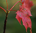 Autumn red (2868638532).jpg