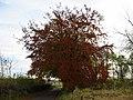 Autumn tree - geograph.org.uk - 990249.jpg