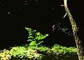 Avenca (Adiantum capillus-veneris) at Monte Palace Tropical Garden - Funchal, Madeira Island.jpg