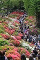 Azaleas at Nedzu shrine.jpg
