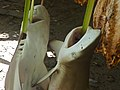 Baby sharks for sale at the Atauro Saturday market.jpg