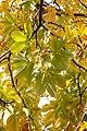 Backlit chestnut leaves (265937337).jpg