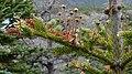 Balsam Fir (Abies balsamea) - Lark Harbour, Newfoundland 2019-08-18 (01).jpg