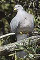 Band-tailed Pigeon (Columba fasciata or Patagioenas fasciata).jpg