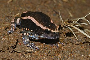 Description de l'image Banded Rubber Frog (Phrynomantis bifasciatus) (7006396375).jpg.