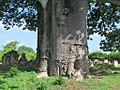Baobab Tree (34656400025).jpg