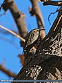 Bar-tailed Tree-creeper (Certhia himalayana) (15951921734).jpg