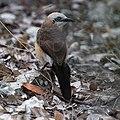 Bare-cheeked Babbler-5996 - Flickr - Ragnhild & Neil Crawford.jpg