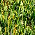 Barley near Edenderry - geograph.org.uk - 1939329.jpg