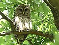 Barred Owl at Willmore Park (47101309004).jpg