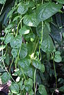 Basella alba Malabarinpinaatti - Malabarspenat C IM7342.JPG