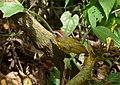 Basileuterus rufifrons (Arañero cabecirrufo) (14597495734).jpg