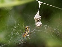 Basilica Orbweaver with Egg Sacks - Flickr - treegrow.jpg