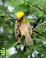 Baya Weaver Ploceus philippinus male Breeding plumage by Dr. Raju Kasambe DSC 5420 (17).jpg