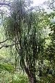 Beaucarnea goldmanii (Asparagaceae) (25255758849).jpg