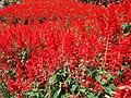 Beautifull Flower at Selecta - panoramio (2).jpg