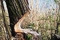 Beavers Work (212019459).jpeg