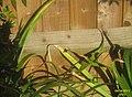 Bee-fly (5605054447).jpg