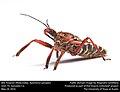 Bee Assassin (Reduviidae, Apiomerus spissipes) (27596377601).jpg