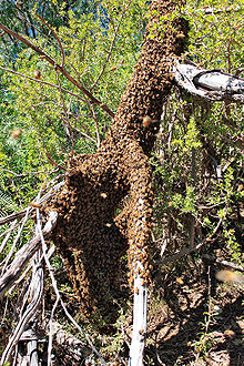 Bee swarm on fallen tree03.jpg