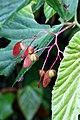 Begonia consobrina (Begoniaceae) (29394305830).jpg