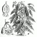 Begonia maculata.png