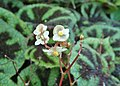 Begonia masoniana kz01.jpg