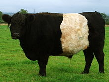 A black cow with a broad white stripe round its middle