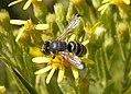 Bembix species, female (33430701856).jpg