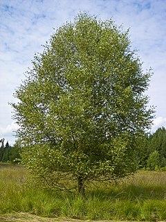 <i>Betula pubescens</i> Species of birch