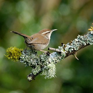 Bewicks wren species of bird