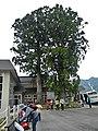 Bijosugi (Cryptomeria japonica tree) at Bijodaira Station 20110515.jpg