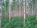 Birch trees in Finland.JPG