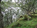 Birch woods, Loch Morie - geograph.org.uk - 901627.jpg