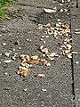 Bird feeding bread detritus Tottenham, London, England 1.jpg