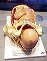 Birth model.jpg