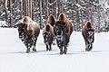 Bison walking on the road in winter (3886910b-3f52-4b86-91c4-659d3996f6f8).jpg