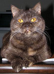 Schildpattfarbene katze